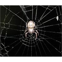 İpek Böceğine Örümcek Geni Nakledildi!
