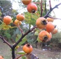 Alıç Meyvesinin Yararları