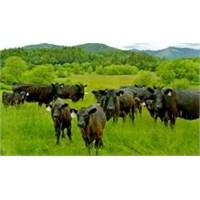 Ekolojik Angus Çiftliği Kurmak