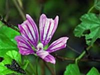 Şifalı Bitkiler - Ebegümeci Ve Faydaları