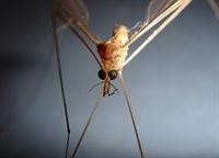 Sivrisinekler Hıv Virüsü / Aıds Bulaştırır Mı?