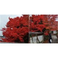 Kouyou Kırmızı Yapraklar Japonya