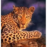 Avlarını Sevgilileriyle Paylaşan Leoparlar