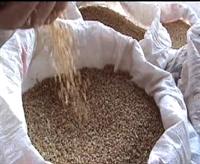 Ms Hastalığına Anadolu Buğdayı Kürü