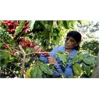 Orta Amerika'da Kahve Üretimi Tehdit Altında
