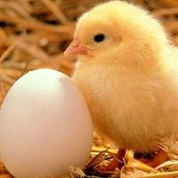 Tavuk Mu Yumurtadan Çıkar Yumurta Mı Tavuktan Çıka
