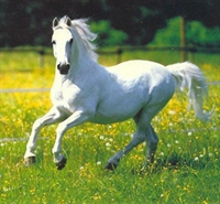 Arap Atlarının Orjini Ve Gelişimi