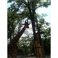 Bir Zürafaya En Yakın Ne Kadar Olunabilir?