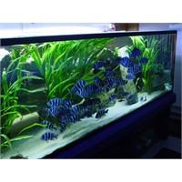 Ciklet Balığı Akvaryumu Nasıl Dekore Edilmeli