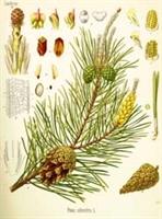 Şifalı Bitkiler Çam Ağacı