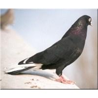 Bursa Oynar Güvercini