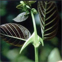 Antioksidanlar:cat's Claw, Uncaria Tomentosa