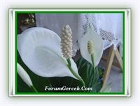 Barış Çiçeği (spathiphyllum)