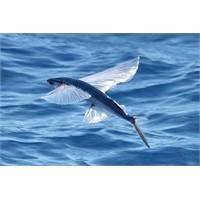 Uçan Balık Nedir?