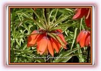 Ters Lale (ağlayan Gelin) (fritillaria İmperialis)