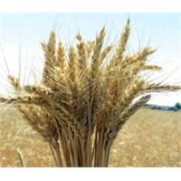 Buğdayın Önemi