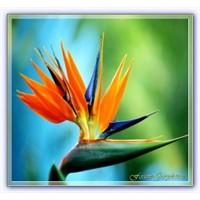 Cennet Kuşu Çiçeği | Turna Gagası