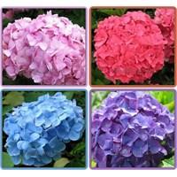 Gölgeliklerin Rengarenk Çiçekleri | Ortanca