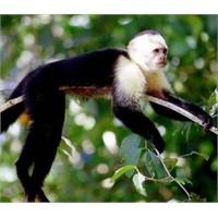 Para Kullanmayı Öğrenen Maymunlar Fuhuşa Başlamış