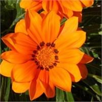 Sivilceyle Mücadelede Doğal Çözüm Aynısefa Çiçeği
