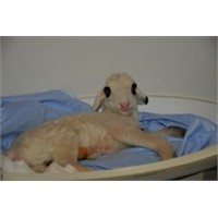 Türkiye'nin İlk Kopya Koyunu Anne Oldu