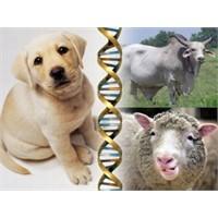 En Çok Klonlanan Beş Hayvan