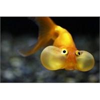 Japon Balığı Bakımı Nasıl Olmalıdır?