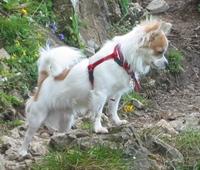 Chihuahua(çivava)köpeğinin Özellikleri Ve Bakımı