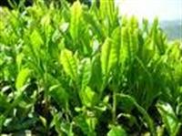 Yeşil Çaylı Güzellik Reçeteleri