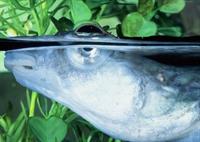 İlginç Dört Gözlü Balıklar