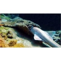 Köpekbalığı Yiyen Köpekbalığı