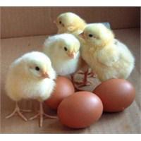 Tavuk Tüyünden İnsan Derisi