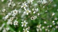 Bahar Yıldızı (gypsophila Paniculata) Müjdesi