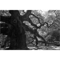 Melek Meşe Ağacı ( Angel Oak )