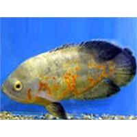 Üzerinde Allah Yazılı Balık