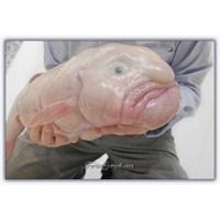 İnsana Benzeyen Bir Balık - Blobfish