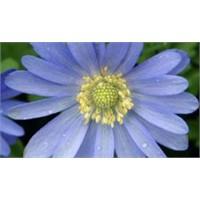 Yaşlanmaya karşı mavi anemon çiçeği