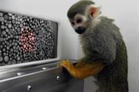 Renk Körü Maymunlar Gen Tedavisiyle İyileşti