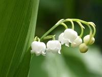 Zehirli  Çiçekler