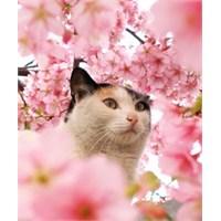 Masum Sakura, Kirazçiçekleri...