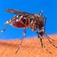 Chikungunya Virüsü Aşısı Başarılı Oldu