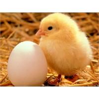 Yumurtanın Neden Her İki Tarafı Aynı Değildir?