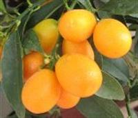 Kumkuat Meyvesi Ve Faydaları