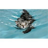 Yürümesi İçin Yüzmesi Gereken Kedi; Mog