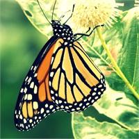 Monarch Kelebeklerinin Düşsel Yolculuğu