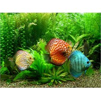 Discus Balıkları