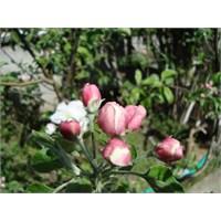 Nazlı Baharın Çiçekleri