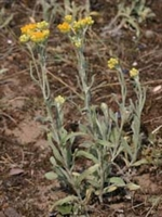 Şifalı Bitkiler:altın Otu (ölmez Çiçek)