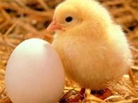 tavuk Yumurtadan Çıktı