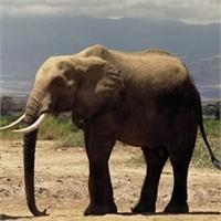 Yabani Fillerin Yaşam Öyküsü